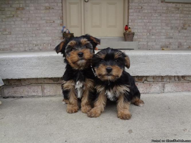 Yorkshire Terrier Puppies: Tea Cups - Price: $900-1200 in