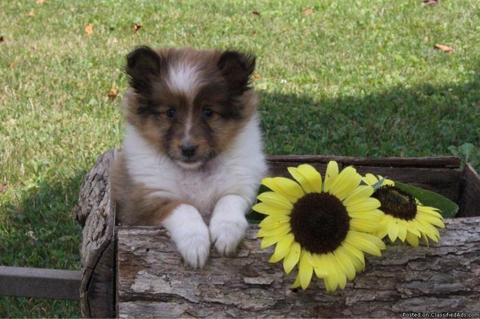 Zoey Shetland Sheepdog